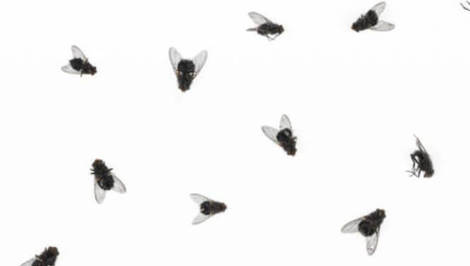 soñar con moscas