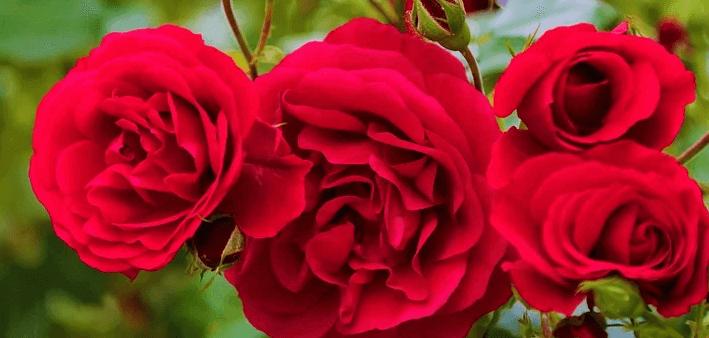 sonar con rosas