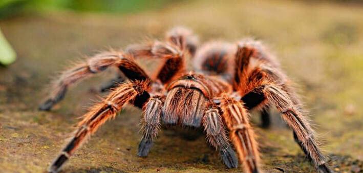 soñar con tarantulas